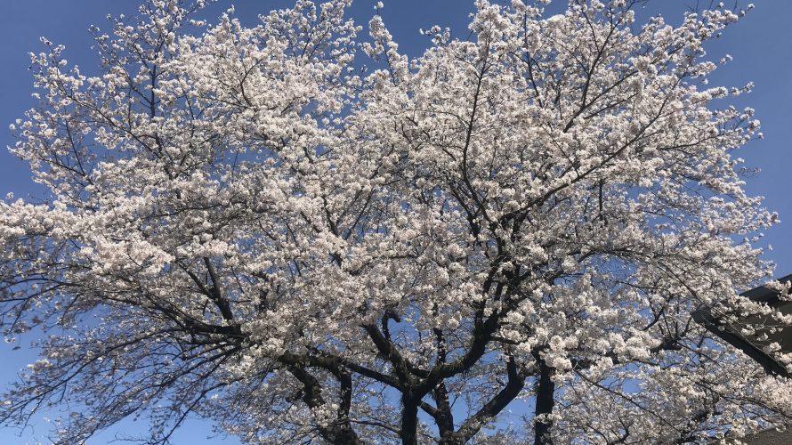 津久井湖の桜