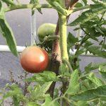 庭しごと -畑編15 雨上がり-